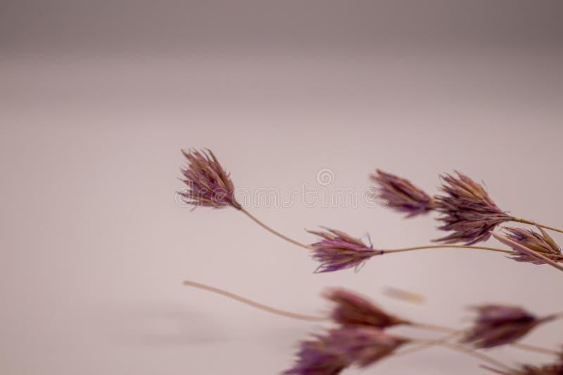 Bukett för selektiv fokus av torkade blommor på vit bakgrund Suddig och mjuk gräsblomma fotografering för bildbyråer