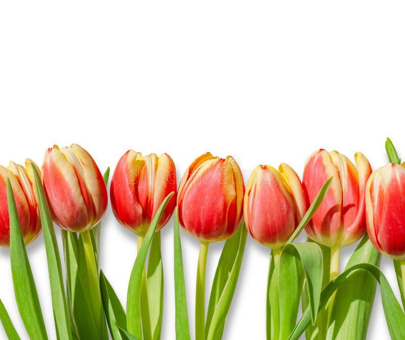 Bukett/rad av röda tulpan som isoleras på vit bakgrund royaltyfri fotografi