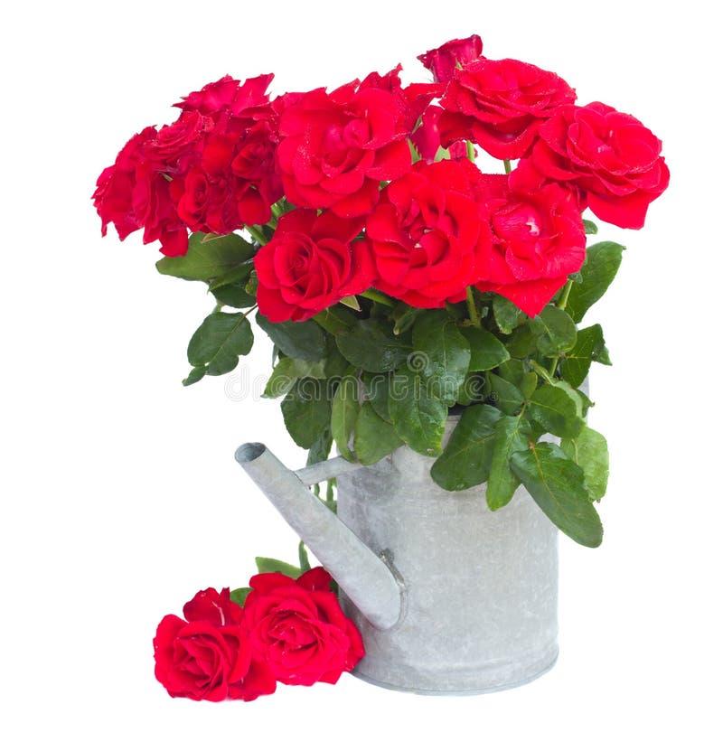 Buketten av nya röda rosor, i att bevattna kan royaltyfri bild