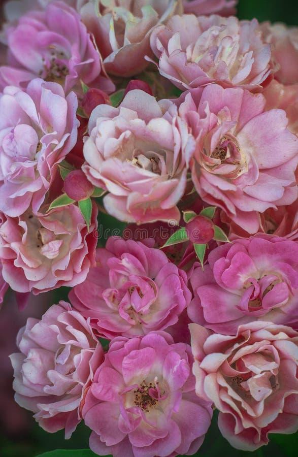 Buketten av rosa färgvåren blommar rosor arkivfoton