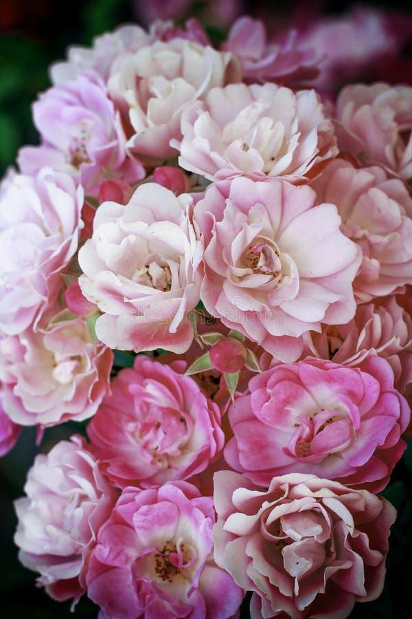 Buketten av rosa färgvåren blommar rosor arkivfoto