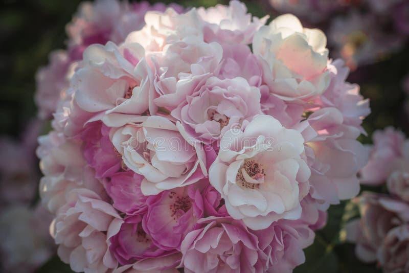 Buketten av rosa färgvåren blommar rosor royaltyfri bild