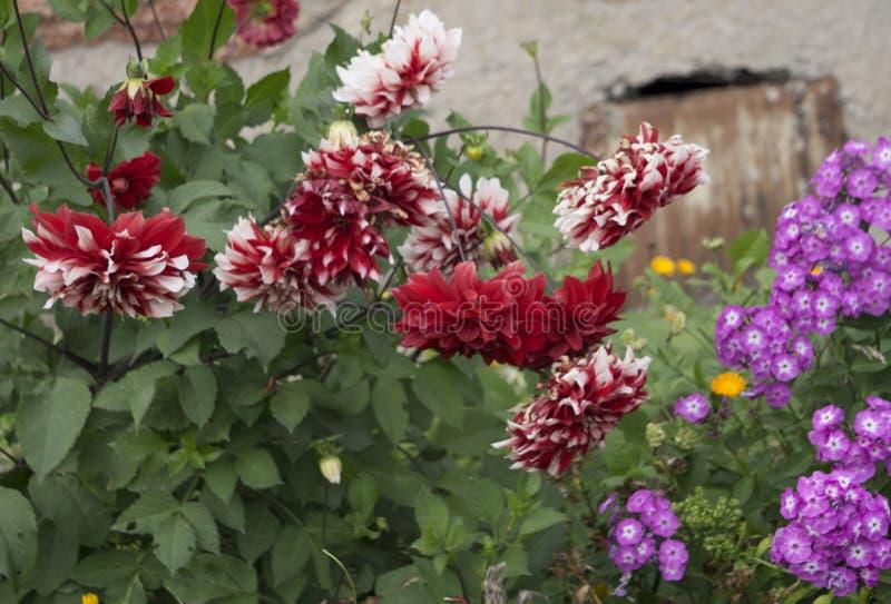 Buketter av röda dahlior i en gatamarknad sälja för blommor royaltyfri foto