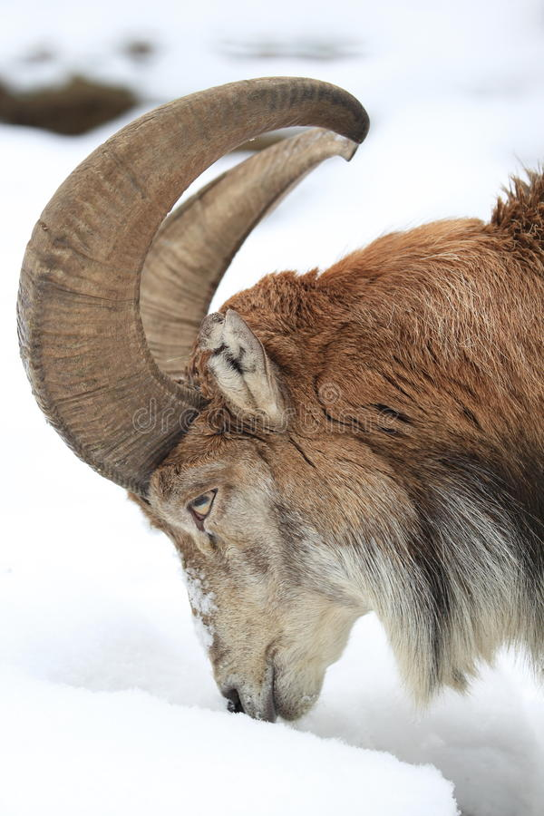 Download Bukhara urial stock photo. Image of ovis, snow, detail - 28643496