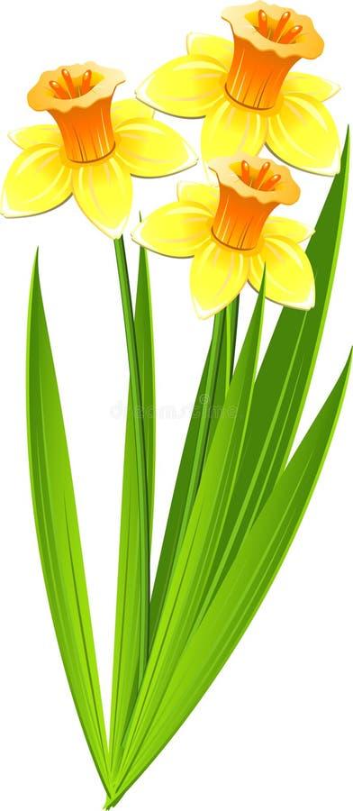 bukietów daffodils ilustracja wektor