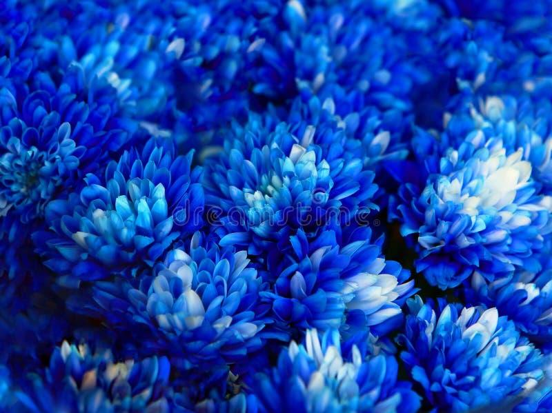 Bukiet błękitna jesieni chryzantema obraz royalty free