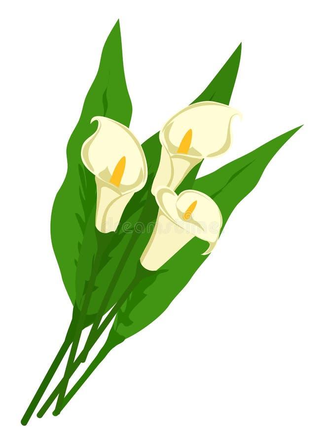 Bukiet białe kalii leluje z liśćmi odizolowywającymi na białym tle Kwiaty dla kobieta prezenta royalty ilustracja
