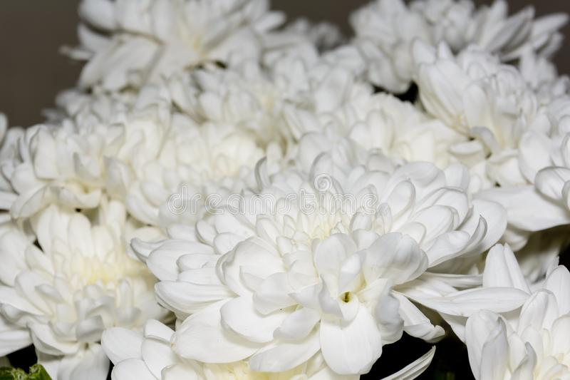 Bukiet biali chryzantema kwiaty Biali kwiaty, zakończenie w górę płatków biały chryzantema kwiat zdjęcia royalty free