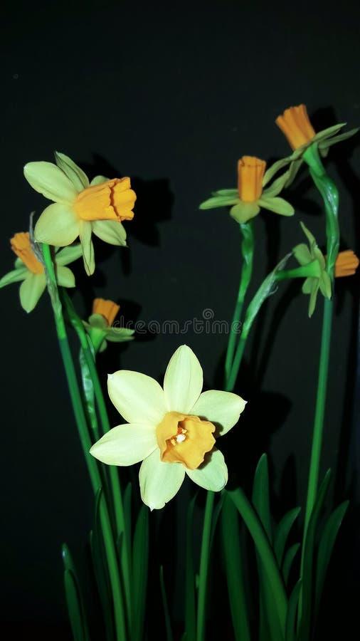 Bukiet daffodils które kwitnęli w zimie obraz royalty free