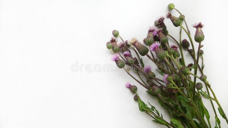 Bukiet dzikich menchii kwiaty cirsium arvense na białym stole fotografia stock