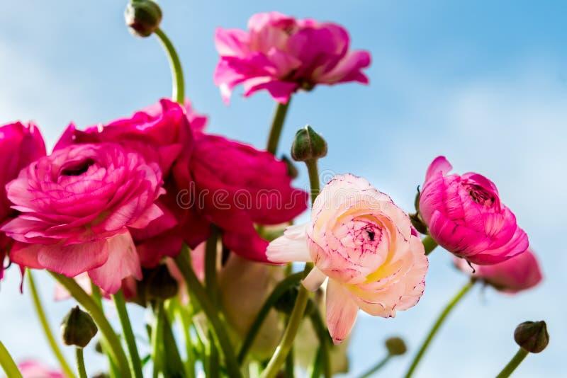 Bukiet kolorowy perski jaskier kwitnie (ranunculus) obraz stock