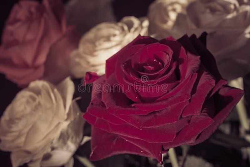Download Bukiet Kolorowych Róż Zamknięty Up Zdjęcie Stock - Obraz złożonej z świeży, czerń: 53792334