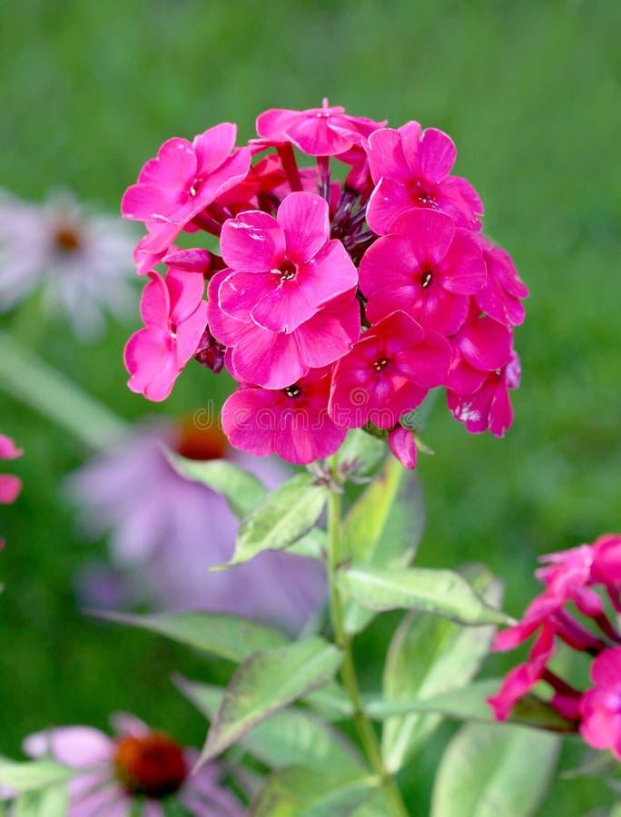 Bukiet menchie kwitnie na zielonym tle fotografia royalty free