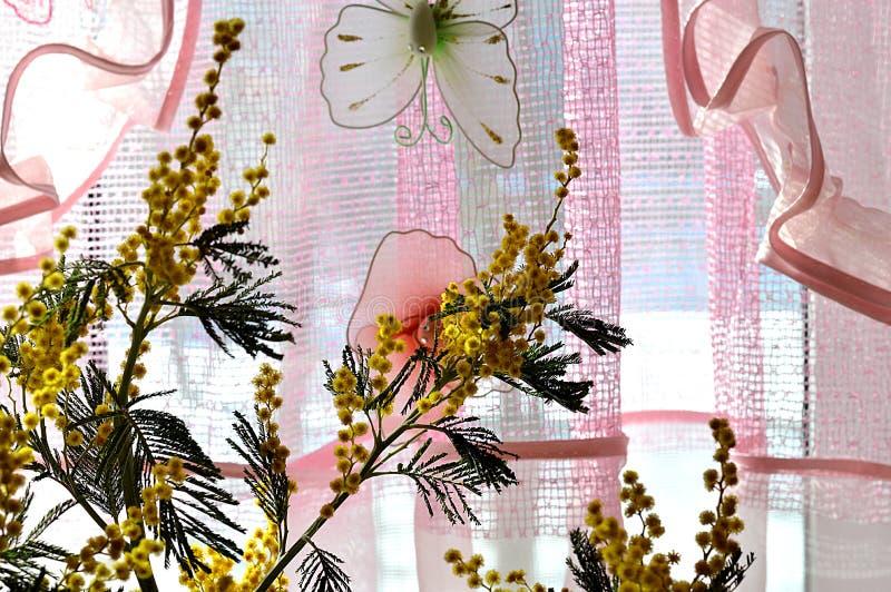 Bukiet, mimoza, okno, iluminującym, słońce, obok menchii koronki, zasłona, z zabawkarskim motylem, światło, wakacje, Marzec 8, wi obraz stock