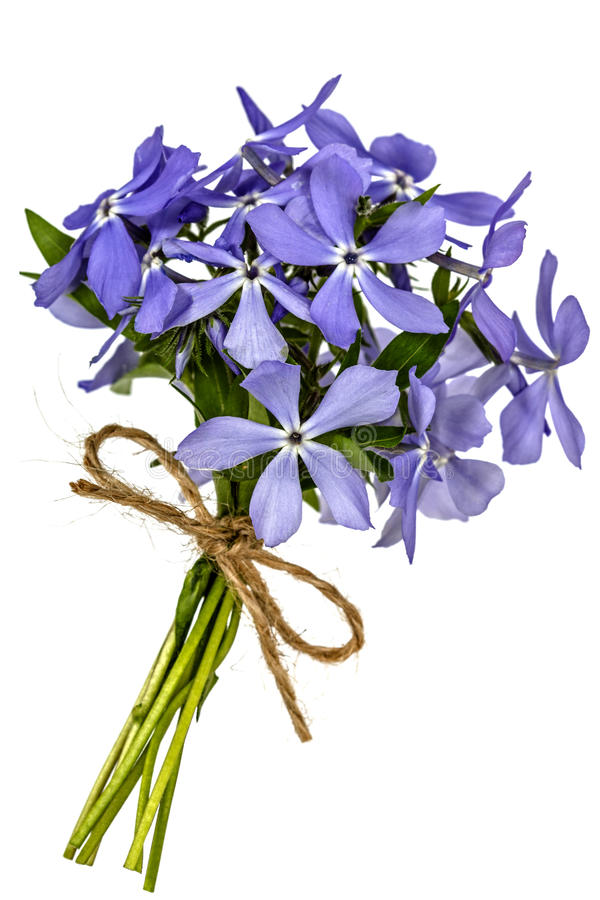 Bukiet od kwiatu floksa, odizolowywającego na białym tle zdjęcie royalty free