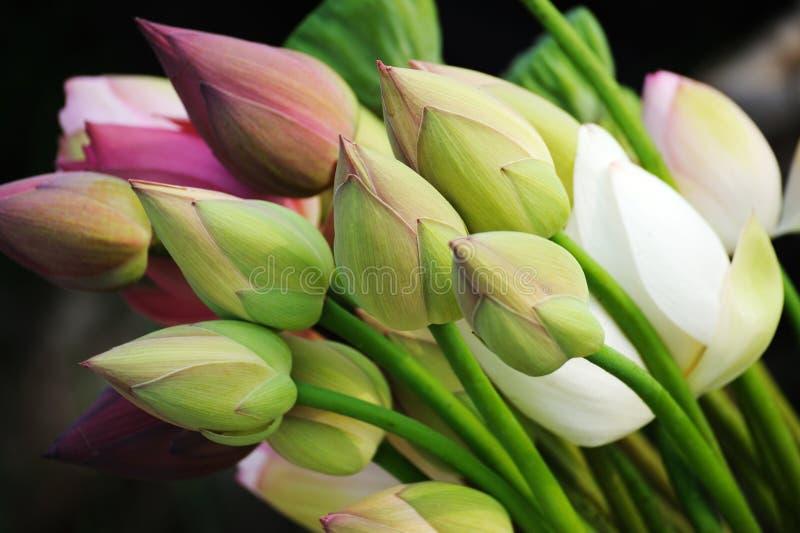 bukiet pączkuje lotosu zdjęcia stock