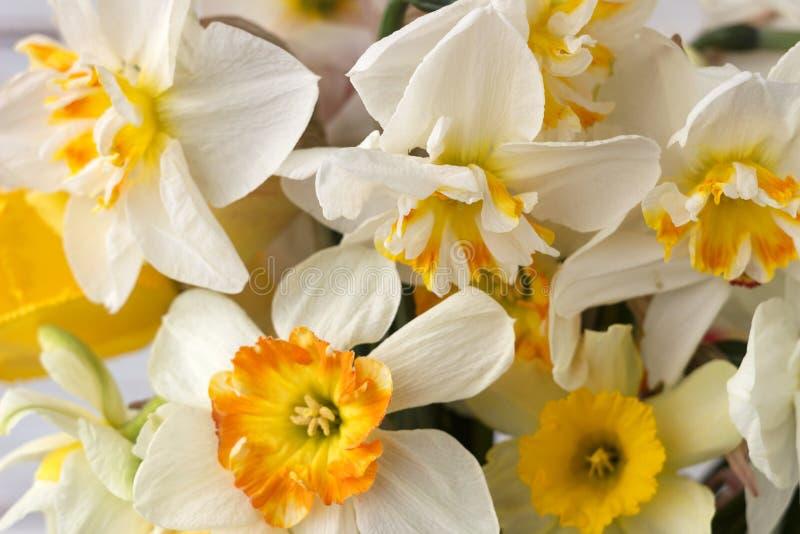 Bukiet pięknych daffodilów różnych typów tła Kwiaty wiosenne, daffodils terry i żółty fotografia royalty free