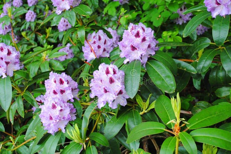 Bukiet purpury pączkuje na kwiatu przedstawieniu obraz stock
