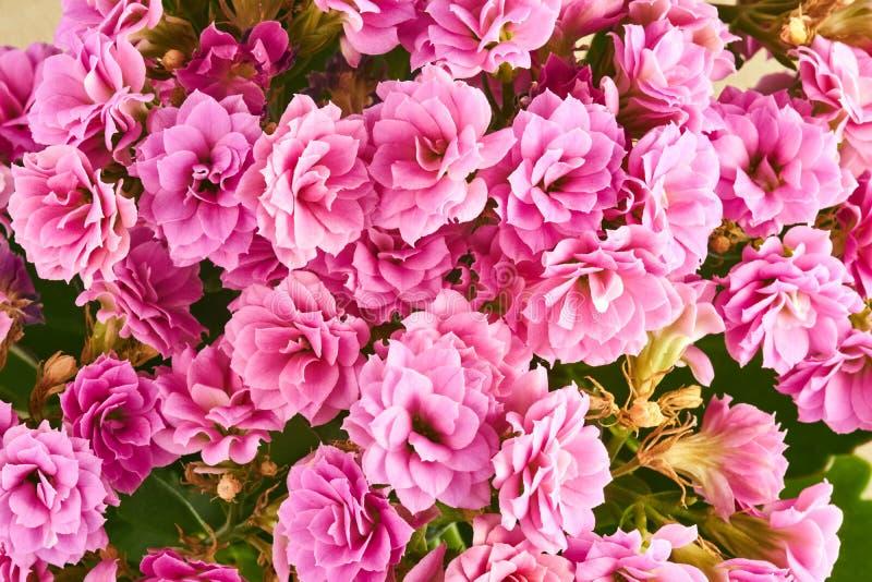 bukiet różowi kalanchoe kwiaty fotografia royalty free