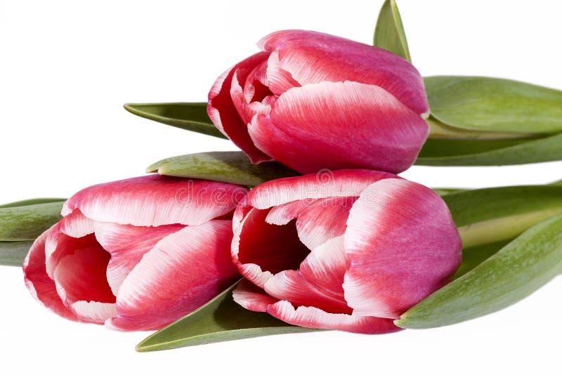 Bukiet różowi wiosna kwiatu tulipany odizolowywający na białym tle zdjęcia stock