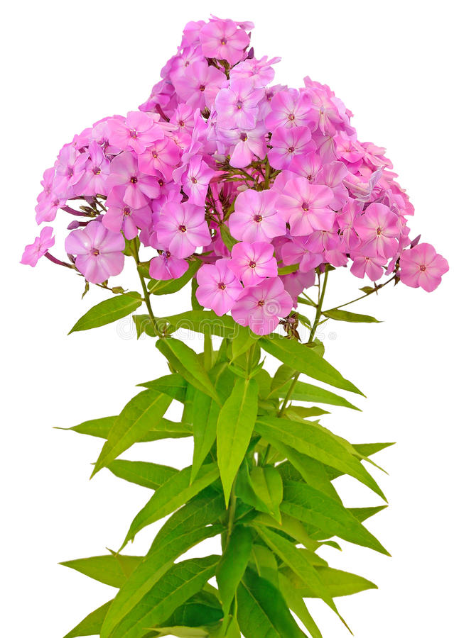 Bukiet różowy floks obraz stock
