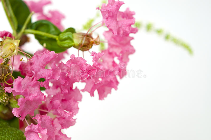 Bukiet różowy krepdeszynowy mirt obrazy royalty free