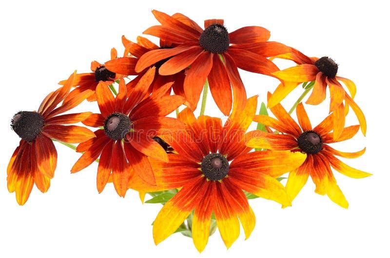 Bukiet rudbeckia kolorowi kwiaty fotografia royalty free