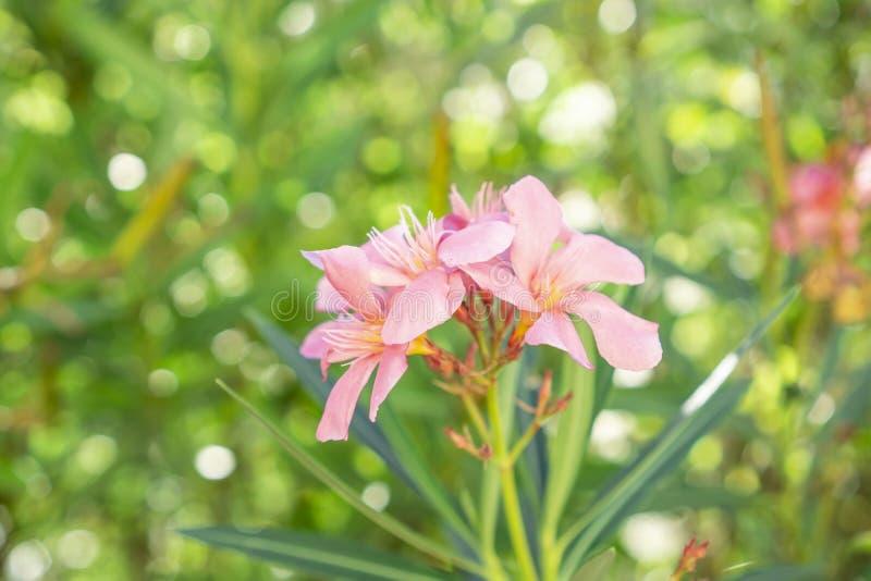 Bukiet uroczy różowi płatki fragrant Słodka oleanderu lub róży zatoka, kwitnący na zielonych liściach i zamazanym tle fotografia stock
