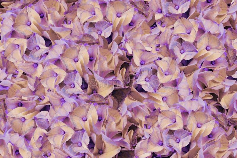Bukiet wiosna kwiaty światło fiołkowe hortensje - menchia - Tło kwiatu fiołka hortensj zakończenie Dla projekta fotografia stock