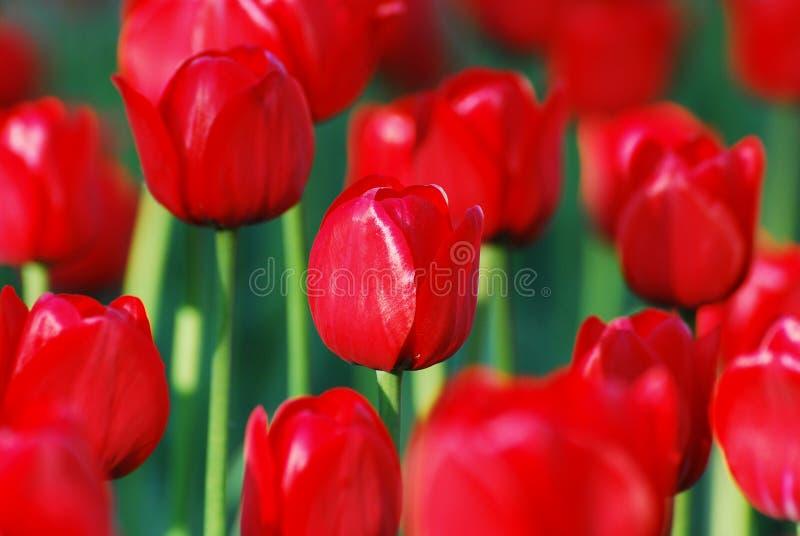 bukieta światła słonecznego tulipany grżą obraz stock