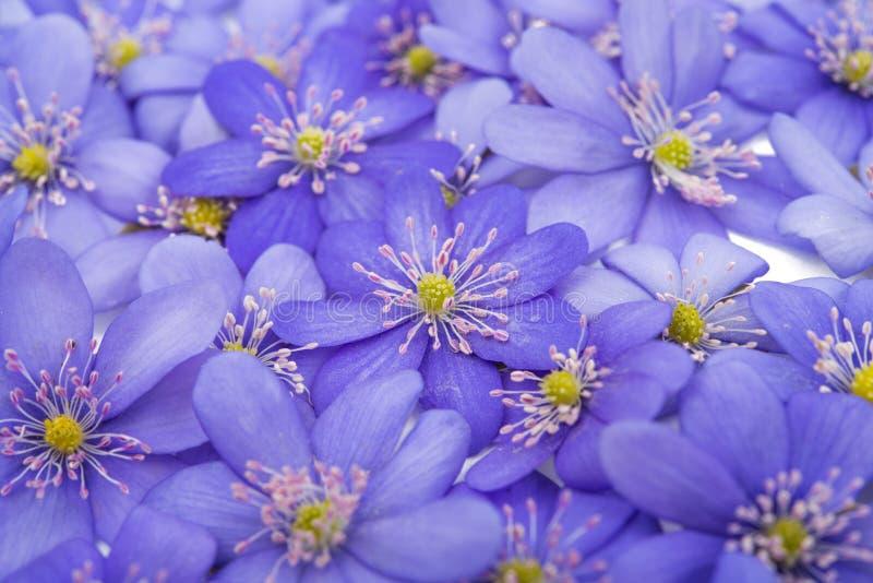 Download Bukowa Lasowa Hepatica Nobilis Poland Wiosna Brać Obraz Stock - Obraz złożonej z flory, szczegółowy: 57672771