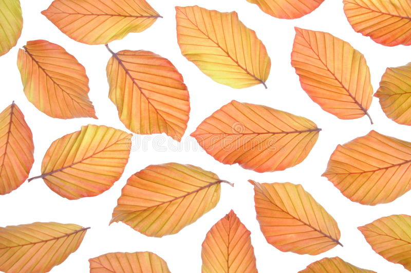 Bukowego drzewa świezi liście fotografia stock