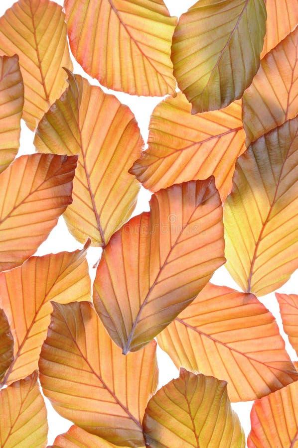 Bukowego drzewa świezi liście obrazy stock
