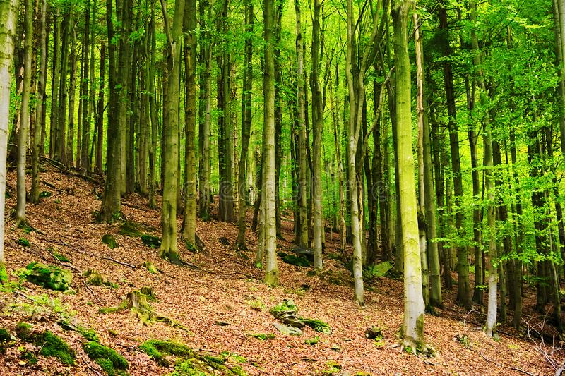 Bukowi lasowi Fagion sylvaticae drzewa r w deciduous lesie obrazy stock