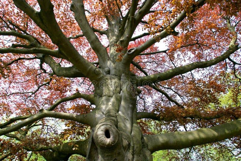 bukowy drzewo fotografia stock