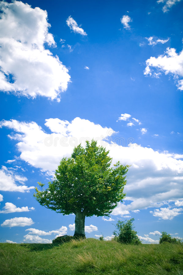 bukowy drzewo zdjęcia royalty free