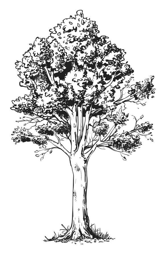 Bukowy drzewo ilustracji