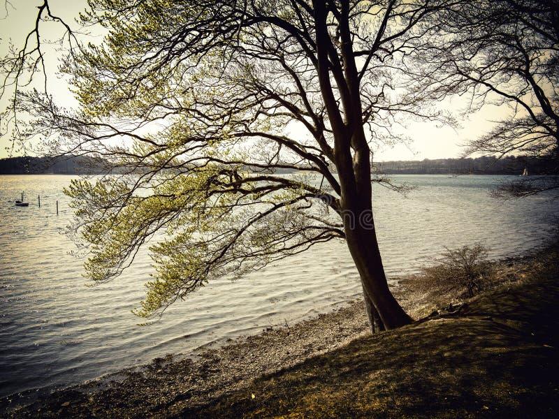 Bukowy drzewo morzem retro obrazy stock