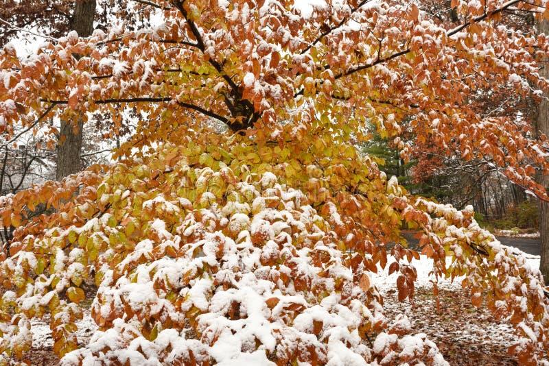 Bukowy drzewo w jesieni z śniegiem fotografia stock
