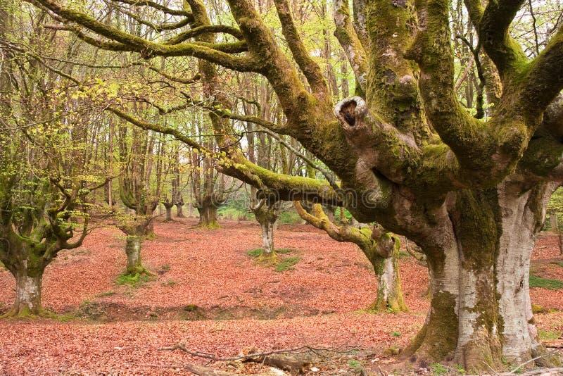 bukowy las obrazy stock