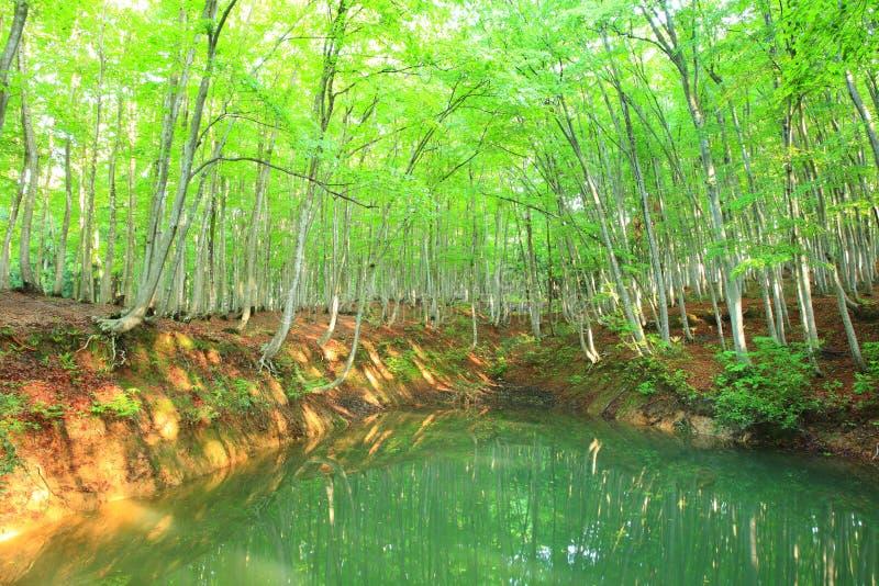 Bukowy las i staw zdjęcia stock