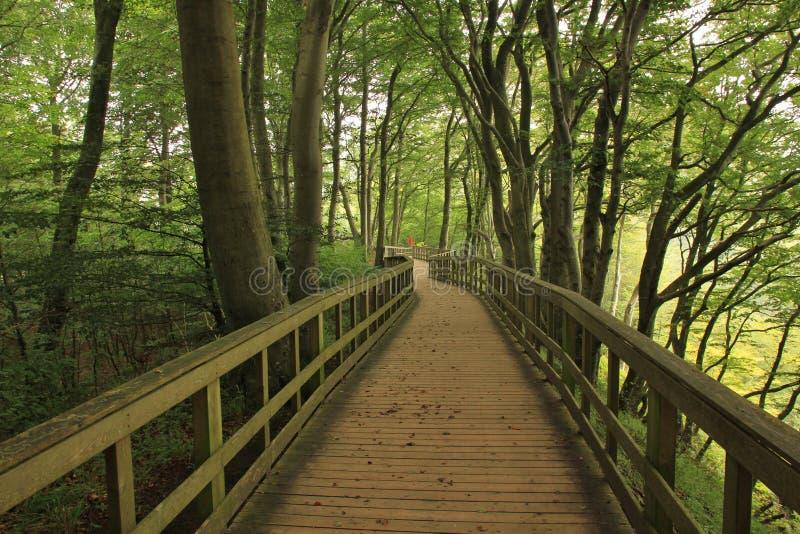 Bukowy las przy Moens Klint, Dani zdjęcia royalty free