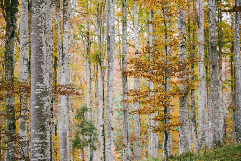 Bukowy las w jesieni Dzielnicowy park Cansiglio zdjęcie royalty free