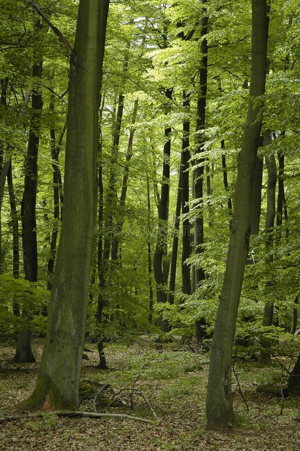 bukowy lasowy francuski dąb zdjęcie royalty free
