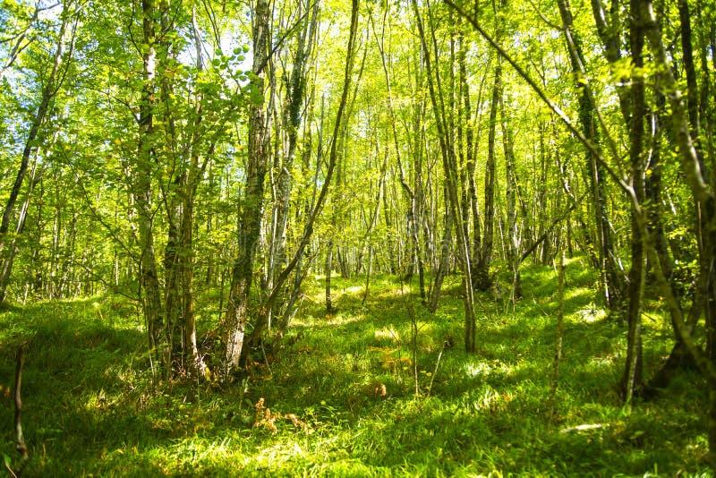 Bukowy lasowy późne lato fotografia stock