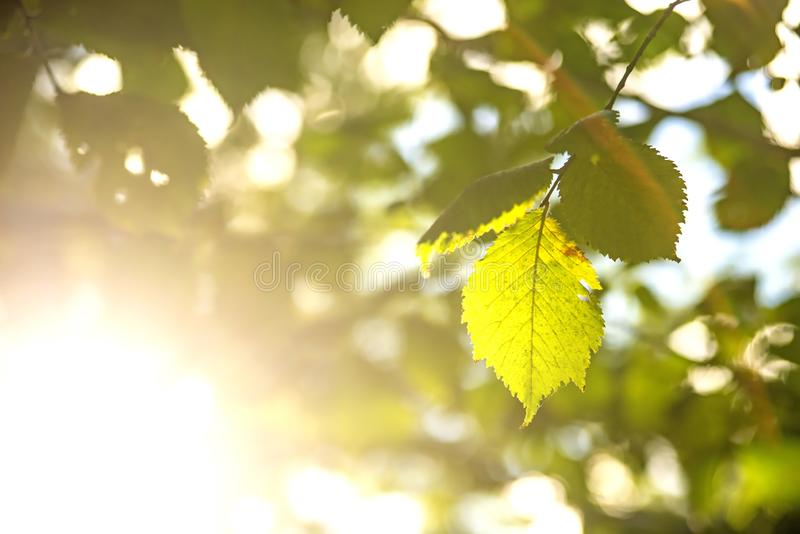 Bukowy liść w plecy świetle obraz royalty free