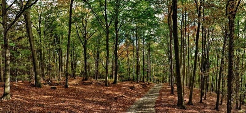 Bukowych drzew las, las z żwir drogą przy jesieni popołudnia światłem dziennym/ obraz stock