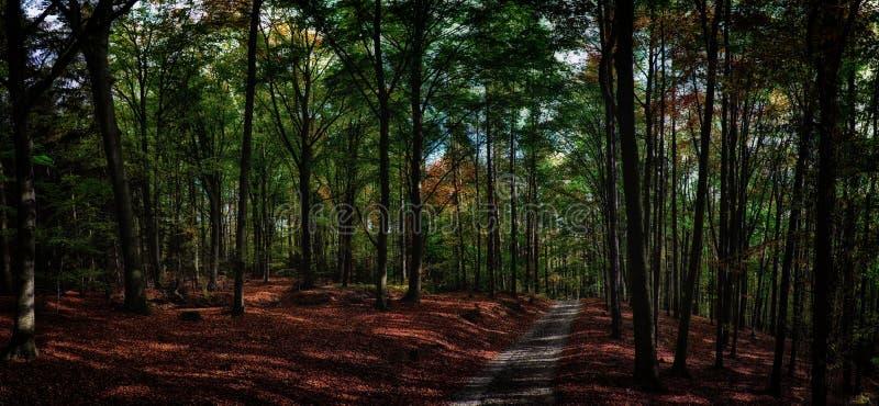 Bukowych drzew las, las z żwir drogą przy jesieni popołudnia światłem dziennym/ zdjęcie stock