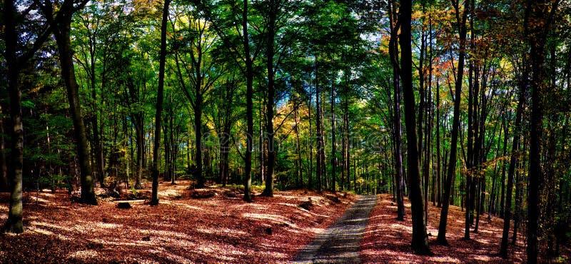 Bukowych drzew las, las z żwir drogą przy jesieni popołudnia światłem dziennym/ fotografia royalty free