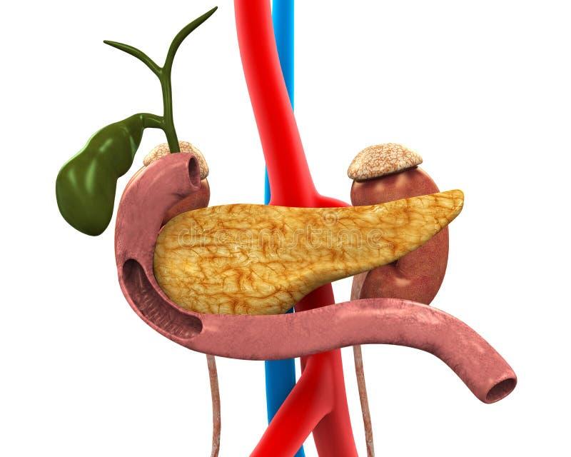 Bukspottkörtel-, gallbladder- och duodenumanatomi royaltyfri illustrationer